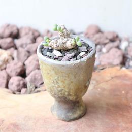 オトンナ    クラビフォリア    no.004    Othonna clavifolia
