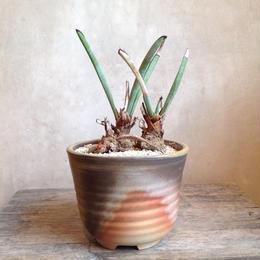 ユッカ    エンドリッキアナ  no.03   Yucca endlichiana