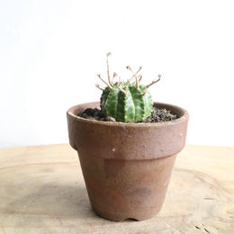 ユーフォルビア  バリダ ♂  no.020   Euphorbia valida