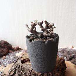 ペラルゴニム    ミラビレ no.015    Pelargonium mirabile