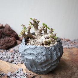 オトンナ    クラビフォリア    no.007    Othonna clavifolia