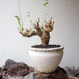 ペラルゴニウム   カルノーサム  no.007   Pelargonium carnosum