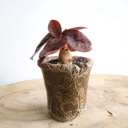 ユーフォルビア   ラバティ  赤葉 no.002   Euphorbia labatii 'redleaf'