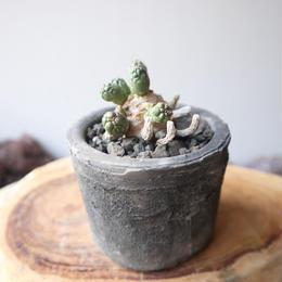 ユーフォルビア イネルミス  no.006   Euphorbia inermis