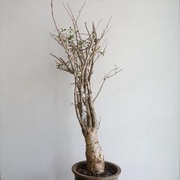 コミフォラ  フンベルティ   no.002  commiphora   humbertii