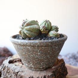 ユーフォルビア  仔吹きオベサ   no.062  Euphorbia obesa