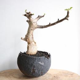 コミフォラ グイドッティ  no.002  Commiphora guidotti