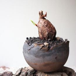 ペラルゴニウム  トリステ  no.009    Pelargonium triste