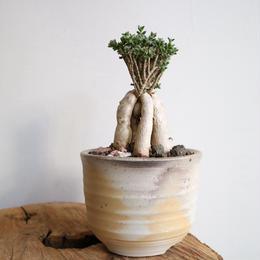 トリコディアデマ    ブルボスム  no.002   Trichodiadema bulbosum