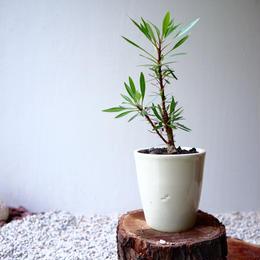 フォークイエリア   プルプシー  no.033  Fouquieria purpusii