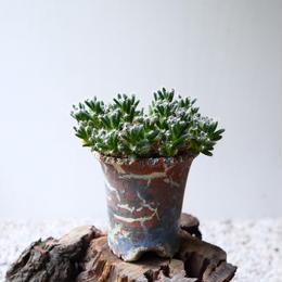 トリコディアデマ     デンスム   紫星晃    no.004   Trichodiadema densum