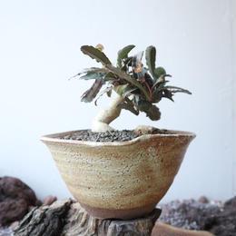 ユーフォルビア   フランコイシー  no.006  Euphorbia francoisii