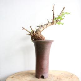 ボスウェリア  ネグレクタ    no.005   Boswellia neglecta