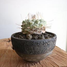 ストロンボカクタス  ディシフォルミス   菊水  no.002   Strombocactus disciformis