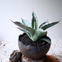 アガベ チタノタ(ランチョタンバー)   no.006-3   agave titanota
