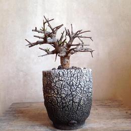 ボスウェリア  ネグレクタ    no.02   Boswellia neglecta