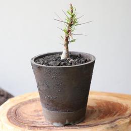 フォークイエリア   プルプシー  no.024  Fouquieria purpusii