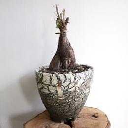メストクレマ  ツベローサム   no.002  Mestoklema  tuberosa