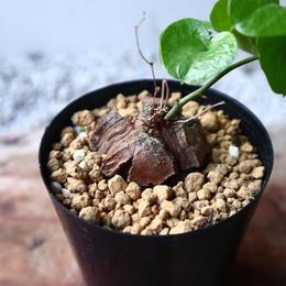 ディオスコレア   亀甲竜    Dioscorea elephantipe  no.1118-1