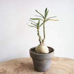 パキポディウム  サキュレンタム    no.003    Pachypodium succulentum
