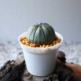 ユーフォルビア  オベサ  Euphorbia obesa  no.102822