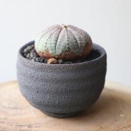 ユーフォルビア  オベサ   no.007    Euphorbia obesa