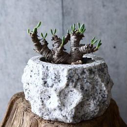 オトンナ    クラビフォリア        Othonna clavifolia  no.008
