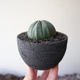 ユーフォルビア  オベサ   no.005    Euphorbia obesa