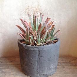レウクテンベルギア Leuchtenbergia principis 晃山