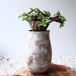 ユーフォルビア    イトレメンシス    no.005   Euphorbia itremensis