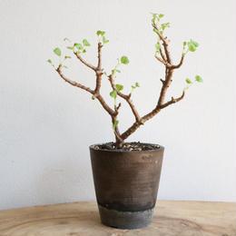 ペラルゴニウム  ゼロフィトン  no.002  Pelargonium  xerophyton