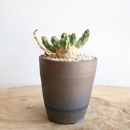 ユーフォルビア イネルミス  no.005   Euphorbia inermis