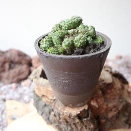 ユーフォルビア  ポリゴナ  綴化   no.002   Euphorbia polygona