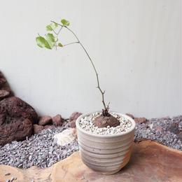 ディオスコレア   亀甲竜   no.018   Dioscorea elephantipe