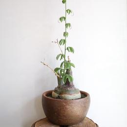 アデニア   グラウカ  no.002   Adenia glauca