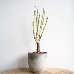 ケラリア ナマクエンシス   no.009  Ceraria namaquensis