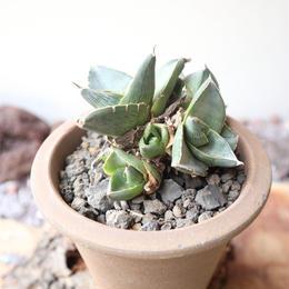 アガベ  プミラ  群生   no.002   Agave pumila crested