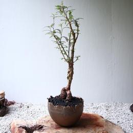 オペルクリカリア  デカリー  no.016  Operculicarya decaryi