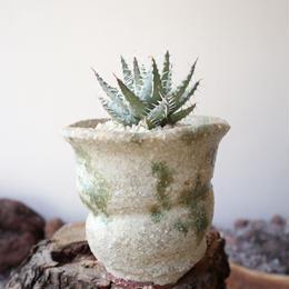 アロエ  エリナケア   no.004    Aloe melanacantha v. erinacea