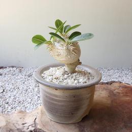 パキポディウム  ブレビカウレ  恵比寿笑い  no.006 Pachypodium brevicle 接木