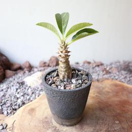 パキポディウム  ウィンゾリー   no.017   Pachypodium baronii var. windsorii