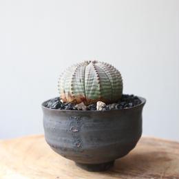 ユーフォルビア  オベサ   no.025    Euphorbia obesa