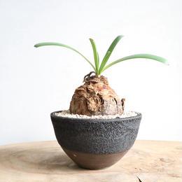 アンモカリス コラニカ    no.002   Ammocharis coranica