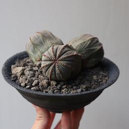 ユーフォルビア  オベサ   no.018    Euphorbia obesa