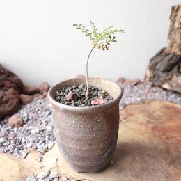 オペルクリカリア  パキプス    no.010   Operculicarya   pachypus
