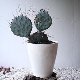 オプンチア  アズレア   Opuntia azurea   no.101415