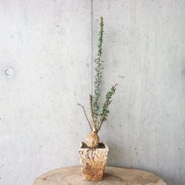 ユーフォルビア   ベハレンシス  no.002   Euphorbia beharensis