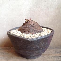 モナデニウム   sp   Monadenium