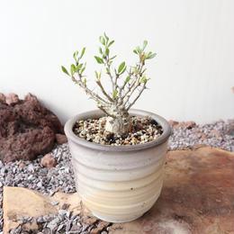 フォークイエリア   コルムナリス   no.007  Fouquieria columnari