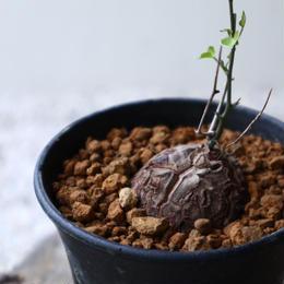 ディオスコレア   亀甲竜    Dioscorea elephantipe  no.923-4